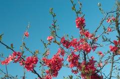 Mooie bloesemboom Stock Afbeeldingen