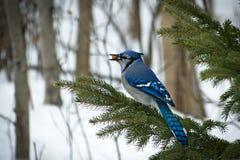 Mooie bluejay vogel - cristata van corvidaecyanocitta - op tak royalty-vrije stock fotografie