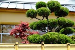 Mooie Bonsai Stock Afbeelding