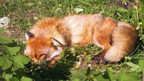 Mooie bont wilde rode vos die en na jacht op zonnige dag op weide in het meest forrest rusten slapen stock footage