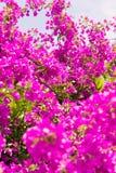 Mooie boom met heldere purpere bloemen Natuurlijke achtergrond Royalty-vrije Stock Afbeeldingen