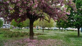 Mooie boom met roze bloemen De lente is in stad Royalty-vrije Stock Afbeeldingen