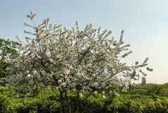 Mooie boom met witte bladeren Stock Foto