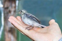 Mooie boom pipit vogel met open bek in mensen` s hand Royalty-vrije Stock Afbeelding