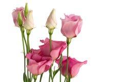 Mooie bos van roze lisianthusbloemen royalty-vrije stock foto's