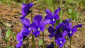 Mooie bosbloemen in Siberische taiga Khakassia royalty-vrije stock afbeelding