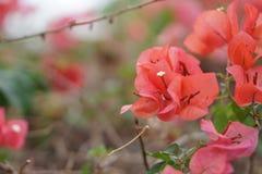 Mooie bougainvillea in de bloemtuin Stock Afbeelding