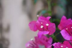 Mooie bougainvillea in de bloemtuin Royalty-vrije Stock Afbeeldingen