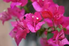 Mooie bougainvillea in de bloemtuin Royalty-vrije Stock Afbeelding