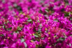Mooie bougainvilleabloemen - zachte nadruk Stock Fotografie