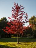 Mooie Brand Rood Autumn Leaves royalty-vrije stock foto's