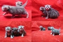 Mooie Britse Shorthair-katjes op rode achtergrond, PITbeeld in beeld, de vier schermen Stock Afbeeldingen