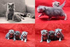 Mooie Britse Shorthair-katjes op rode achtergrond, PITbeeld in beeld, de vier schermen Stock Foto