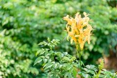 Mooie broomrapesbloem met onduidelijk beeldachtergrond royalty-vrije stock foto's
