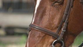 Mooie bruine dichte omhooggaand van het paardoog stock videobeelden