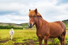 Mooie bruine en witte Ijslandse paarden in aard royalty-vrije stock afbeeldingen