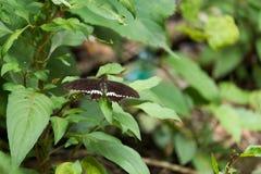 Mooie bruine en witte puntvlinder Stock Afbeelding