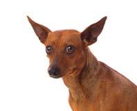Mooie bruine hond Royalty-vrije Stock Foto
