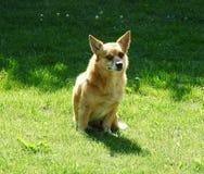 Mooie bruine hond op gras, Litouwen royalty-vrije stock foto's