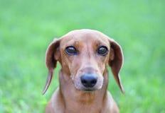Mooie bruine hond op het groene gras in de tuin Stock Foto