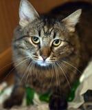 Mooie bruine kat Stock Foto