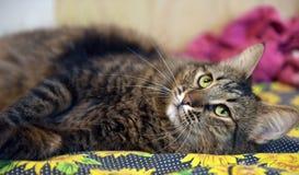Mooie bruine kat Royalty-vrije Stock Afbeeldingen