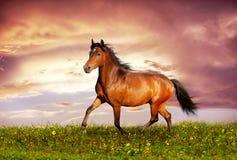 Mooie bruine paard lopende draf Stock Afbeeldingen