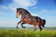 Mooie bruine paard lopende galop Stock Afbeelding