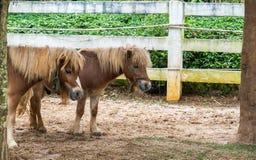 Mooie Bruine Pony Couple Stand Together onder de Grote Boom Stock Afbeeldingen