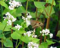 Mooie bruine vlinder op witte bloemen, Litouwen stock foto