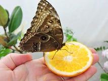 Mooie bruine vlinder in vrouwenhand, Litouwen stock afbeelding