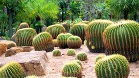 Mooie cactus op een steen Royalty-vrije Stock Afbeeldingen