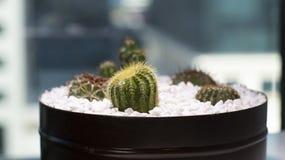 Mooie cactus, volledig van zeer grote doornen stock afbeeldingen