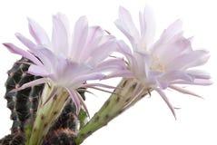 Mooie cactusbloemen Stock Foto