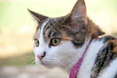 Mooie calicokat die nieuwsgierig zijn Stock Foto