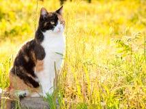 Mooie calicokat in hoog gras Royalty-vrije Stock Foto's