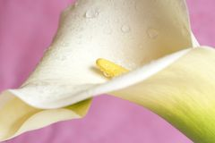 Mooie calla lilly op roze royalty-vrije stock foto