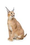 Mooie caracal lynx die op wit wordt geïsoleerd Stock Afbeelding