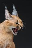 Mooie caracal lynx over zwarte achtergrond Stock Foto's