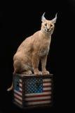 Mooie caracal lynx over zwarte achtergrond Stock Afbeelding