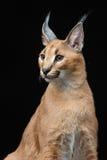 Mooie caracal lynx over zwarte achtergrond Royalty-vrije Stock Fotografie