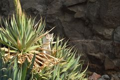 Mooie Cat Puppy Among The Aloe Vera Plants On The Beach van Tazacorte Reis, Aard, Vakantie, Dieren 11 Juli 2015 Tazacorte royalty-vrije stock fotografie