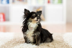 Mooie chihuahuahond binnen royalty-vrije stock afbeelding