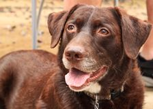 Mooie Chocolade Labrador, bruin met witte noteringen Stock Foto's