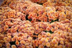 Mooie chrysant als achtergrondbeeld behang, chrysanten in de herfst Royalty-vrije Stock Afbeelding
