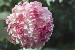 Mooie chrysantenbloem Stock Foto