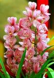 Mooie cymbidiumorchideeën stock foto's