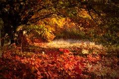 Mooie dag in het de herfstbos met zon Royalty-vrije Stock Afbeeldingen