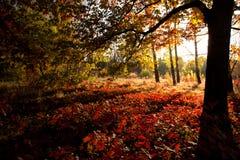 Mooie dag in het de herfstbos met zon Stock Foto
