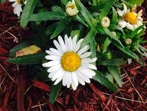 Mooie Daisy Stock Afbeelding